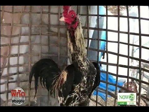 ขายไก่ชนรับปีไก่ทองทำเงินหลักหมื่น