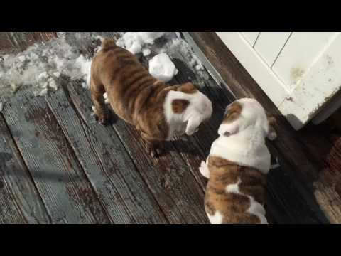 Elvis and Priscilla English Bulldog  puppy twins wrestle