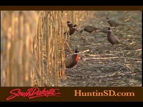 Pheasant Hunting in South Dakota