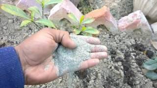 Video How to grow raat ki raani plant care and tips    Cestrum nocturnum download MP3, 3GP, MP4, WEBM, AVI, FLV November 2017
