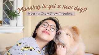 10 Things you need to know before getting a CHOW CHOW! Are they the best breed for you? (Vlog#30)