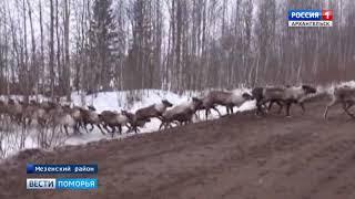 Обратно в тундру держат путь стада ненецкой оленеводческой общины