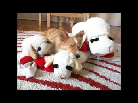 Sheltie Puppy - 365 days in photos