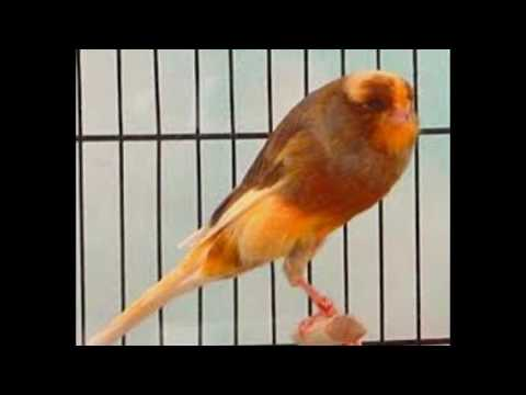 yorkshire canary singing