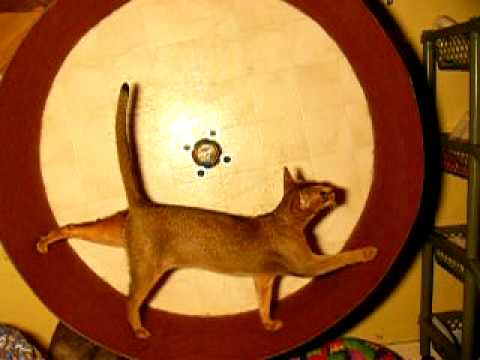 Abyssinian cat in exercise wheel