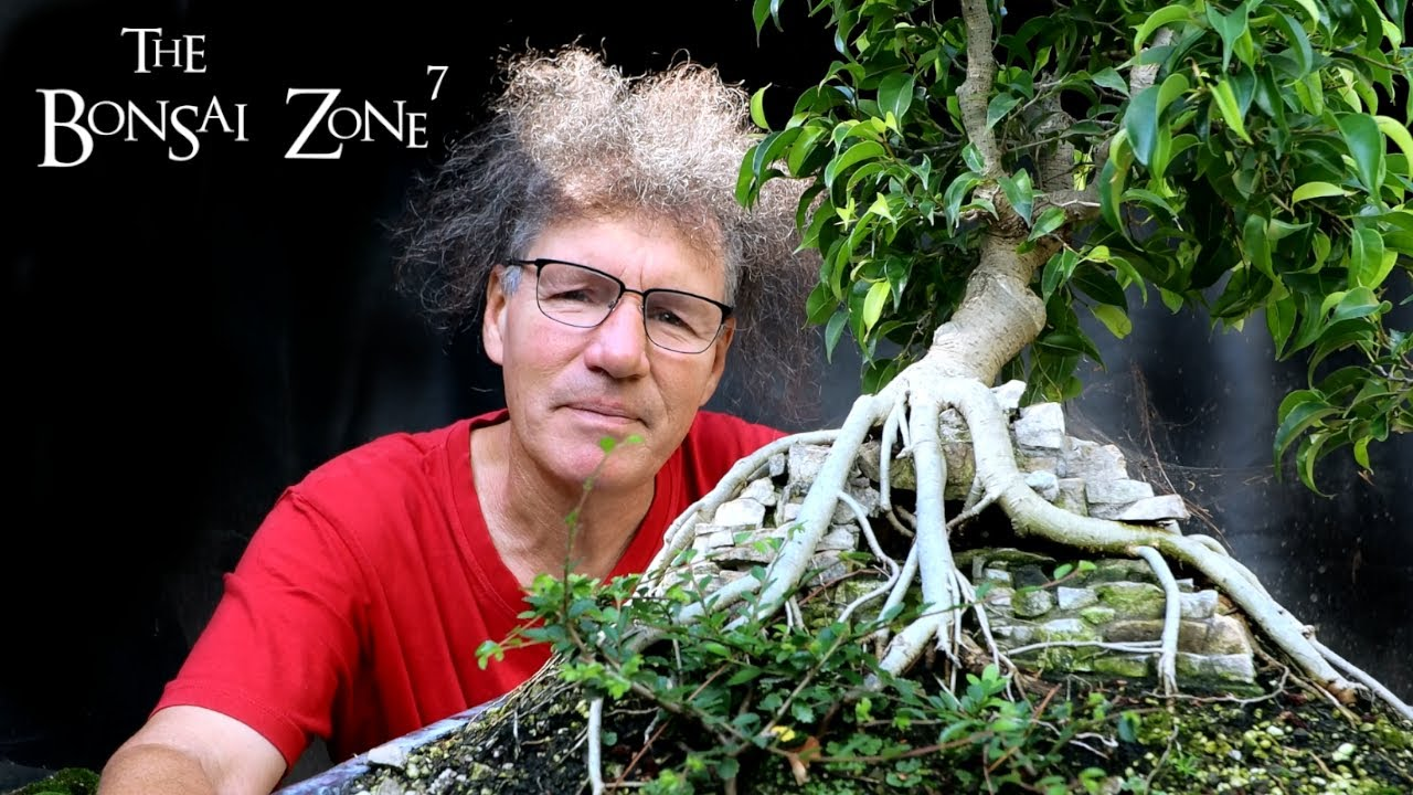 Repotting My Root Over Temple Ficus Benjamina The Bonsai Zone July 2020 Youtube