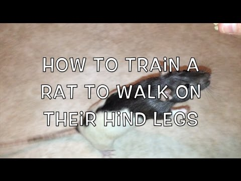 How to Train a Rat to Walk on Their Hind Legs