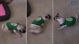 VIDEO: Pet pug goes wild celebrating Mexico