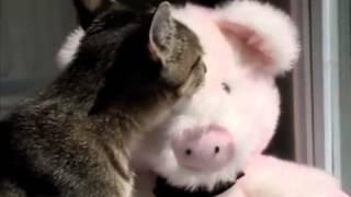 Kitty Kisses Pet Pig- Pettube