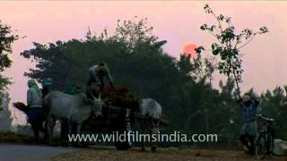 Bullock cart riding in rural Karnataka, India