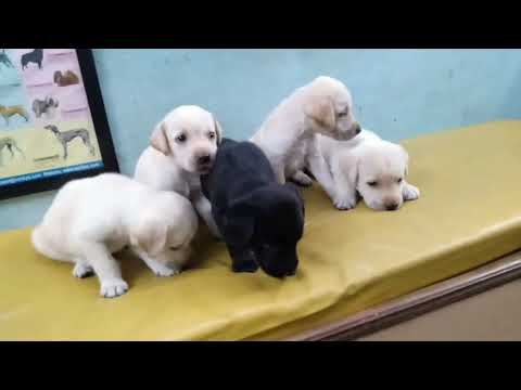 Low price lab puppy available in Delhi and India.