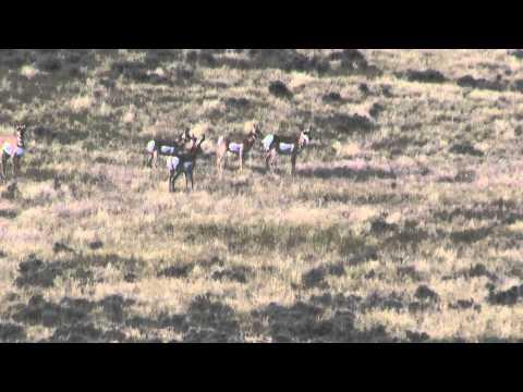 Brian's Antelope 2011