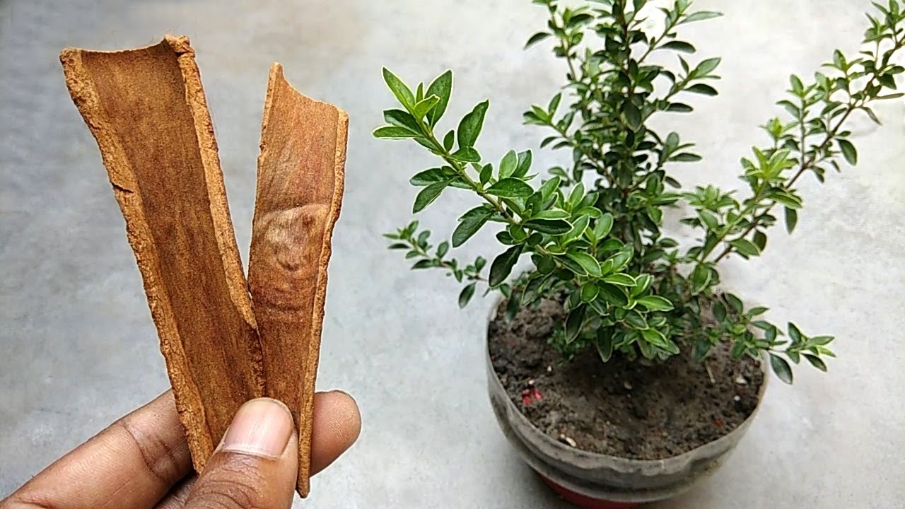 Remove green fungus from plants soil | Natural fungicide on homemade plant hormone, sulfur plant fungicide, homemade plant water, homemade plant fertilizer, homemade plant insecticide, homemade plant food, homemade plant pesticide,