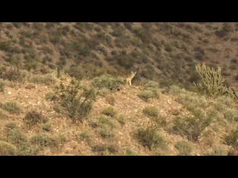 Coyote Hunting [CALLING IN A COYOTE 2019]