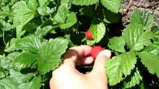 видео ампельная клубника с розовыми цветами уход и выращивание, фото