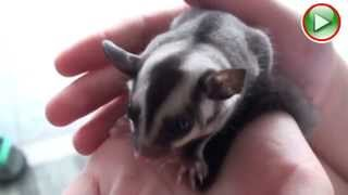 Cute Baby Sugar Glider