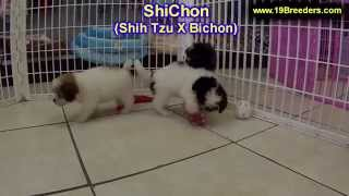 ShiChon, Puppies, For, Sale, In, Clifton, New Jersey, NJ, Morris, Passaic, Camden, Union, Ocean, Mon
