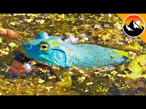 Download BLUE FROG - See it to BELIEVE IT!