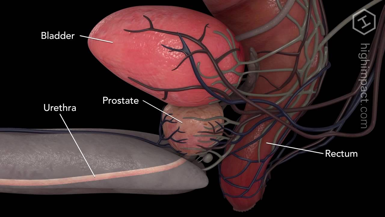 Anatomia prostata - YouTube