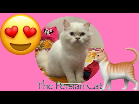 LOVELY PERSIAN CAT | COTTONBALLS