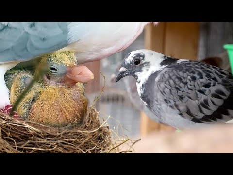 We secretly raised PIGEONS for 8 months. Here's what happened...