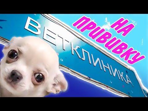 Первые ПРИВИВКИ щенку. Поход к ветеринару. Прививка от БЕШЕНСТВА. Когда можно гулять со щенком.