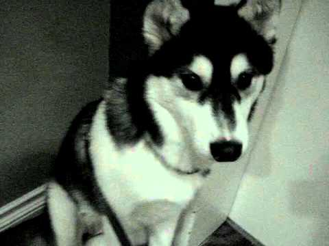How Smart Are Huskies and Do They Make Good Pets? |Smart Husky Puppy