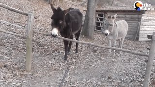 Donkey Has The Smartest Way Of Getting Over This Fence | The Dodo