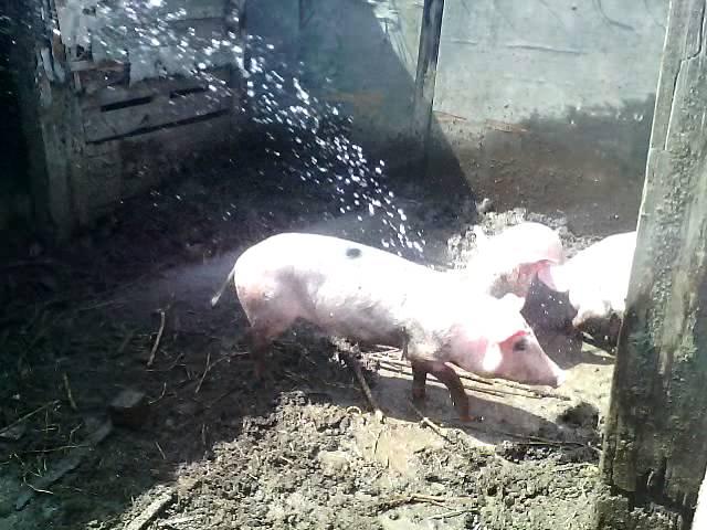водные процедуры у свинок!)))