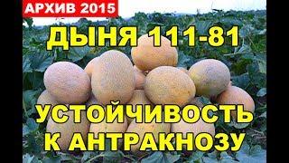 Выращивание овощей. Дыня 111-81, устойчивость к Антракнозу
