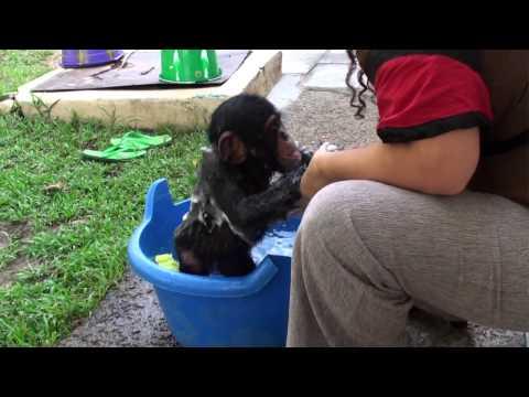 Baby Chimp Bathtime