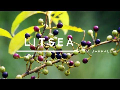 litsea---the-oil-of-less-stress