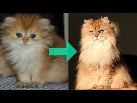 FROM KITTEN TO QUEEN OF FLUFF | Smoothie The Cat