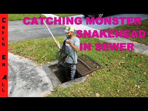 CATCHING SNAKEHEAD FISH IN SEWER! @catch_em_all_fishing