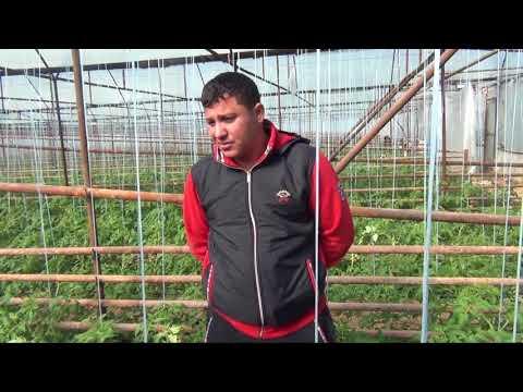 Розовые томаты в теплице у Вити (16-03-2018)