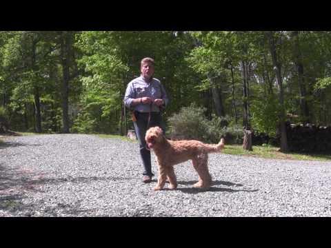 Fitz | Goldendoodle Puppy Training