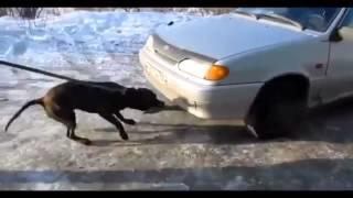 Собака силач