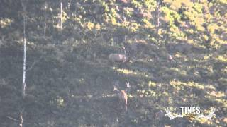 2014 Early Rut Elk Clip Tines Up