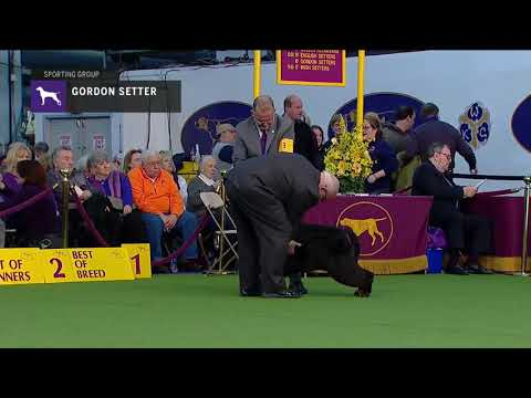 Gordon Setter | Breed Judging (2019)