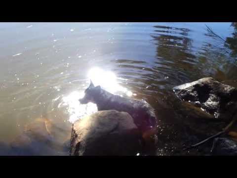 DOG SWIMMING IN BEAUTIFUL RIVER IN AUSTRALIA