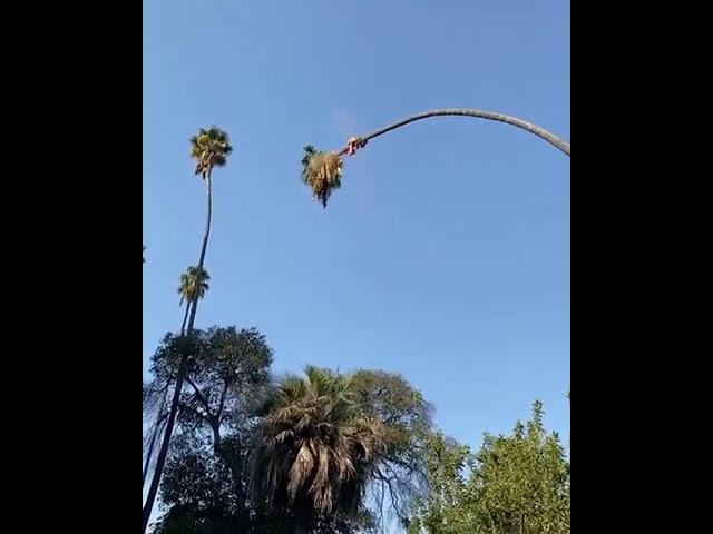 Cortando La Palma