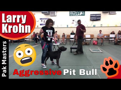 Extremely aggressive pit bull real time training at workshop