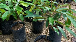 ต้นพันธุ์ทุเรียนยาวลิ้นจี่เสียบยอดต่ำต้นกล้าทุเรียนป่าออกลูกไวสนใจโทร065-0719800ไอดีไลน์0650719800