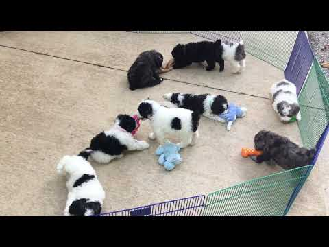 Liberty's schnoodle puppies for sale 1 female still available 8-21-18