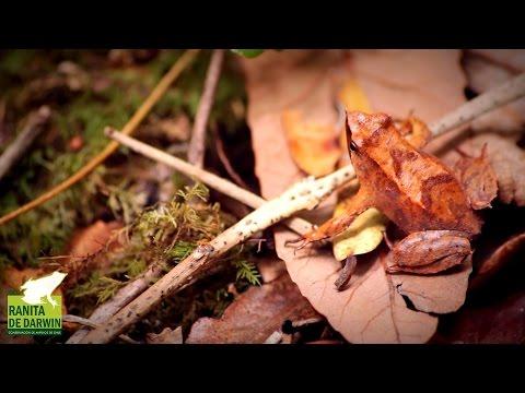 """ONG Ranita de Darwin: """"El bosque nativo de Neltume, Hogar de la Ranita de Darwin"""""""