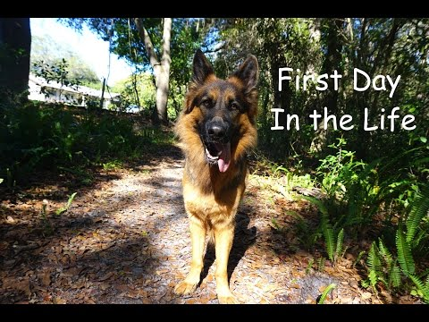 First Day in the Life of Zara- German Shepherd Dog Vlog