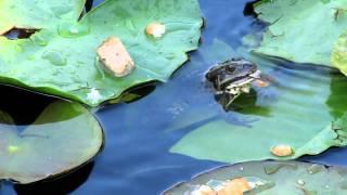 что едят жабы