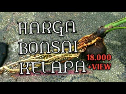 Harga Bonsai Kelapa Wow Amazing Youtube