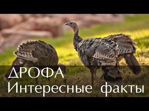 Интересные факты о птице Дрофа (С фото и видео)