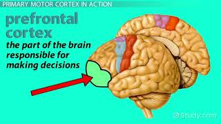 Primary Motor Cortex  Location   Function   Video   Lesson Transcript   Study com
